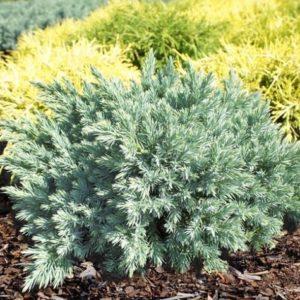 Vrtnarstvo Breskvar - Juniperus conferta Schlager