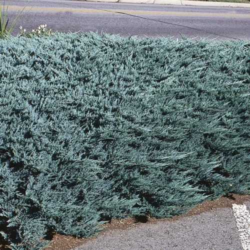 Vrtnarstvo Breskvar - Juniperus horizontalis Blue Chip