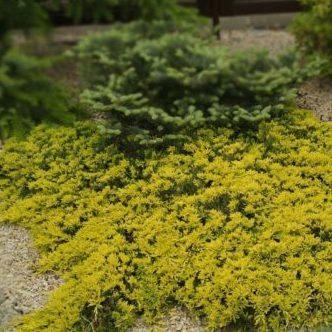 Vrtnarstvo Breskvar - Juniperus horizontalis Golden Carpet
