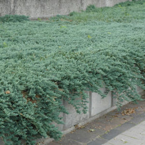 Vrtnarstvo Breskvar - Juniperus horizontalis Icee Blue