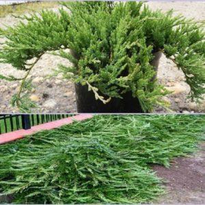 Vrtnarstvo Breskvar - Juniperus Horizontalis Jade River