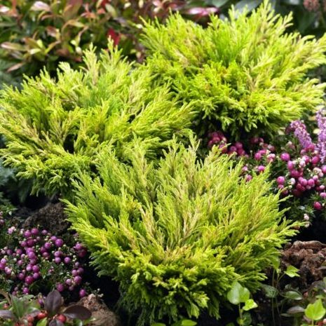 Vrtnarstvo Breskvar - Juniperus horizontalis Limeglow