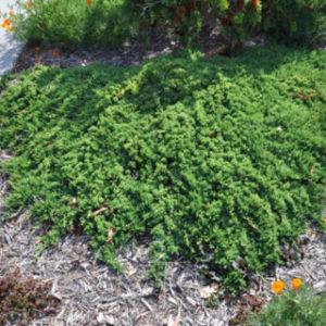 Vrtnarstvo Breskvar - Juniperus horizontalis Prostrata