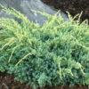 Vrtnarstvo Breskvar - Juniperus squamata Holger