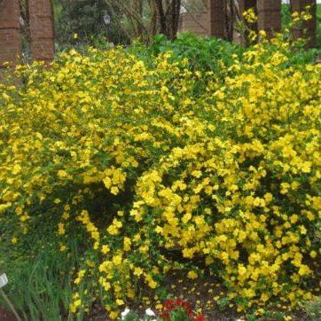 Vrtnarstvo Breskvar - Kerria japonica Golden Guinea