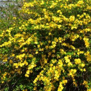Vrtnarstvo Breskvar - Kerria japonica Picta