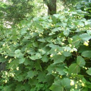 Vrtnarstvo Breskvar - Kirengeshoma palmata
