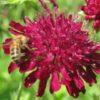 Vrtnarstvo Breskvar - Knautia macedonica