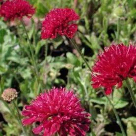 Vrtnarstvo Breskvar - Knautia macedonica Mars Midget