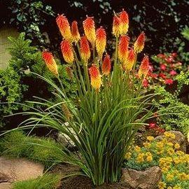Vrtnarstvo Breskvar - Kniphofia uvaria Flamenco
