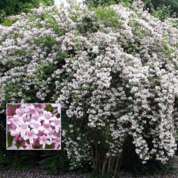 Vrtnarstvo Breskvar - Kolkwitzia amabilis