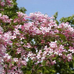 Vrtnarstvo Breskvar - Kolkwitzia amabilis Pink Cloud