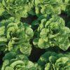 Vrtnarstvo Breskvar - Lactuca sativa Asia