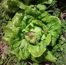 Vrtnarstvo Breskvar - Lactuca sativa Bistra