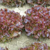 Vrtnarstvo Breskvar - Lactuca sativa Flambine