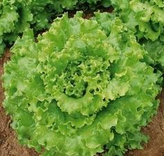 Vrtnarstvo Breskvar - Lactuca sativa Florine