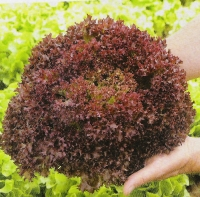Vrtnarstvo Breskvar - Lactuca sativa Lollo Rossa