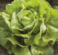 Vrtnarstvo Breskvar - Lactuca sativa Nansen