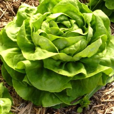 Vrtnarstvo Breskvar - Lactuca sativa Novappia