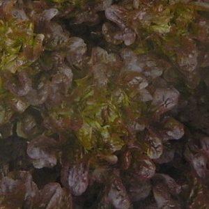 Vrtnarstvo Breskvar - Lactuca sativa Red Oakleaf F1