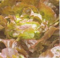 Vrtnarstvo Breskvar - Lactuca sativa Rjavka
