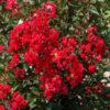 Vrtnarstvo Breskvar - Lagerstroemia Dynamite