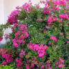 Vrtnarstvo Breskvar - Lagerstroemia indica Mimie Fuchsia