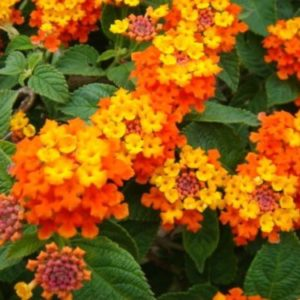 Vrtnarstvo Breskvar - Lantana camara