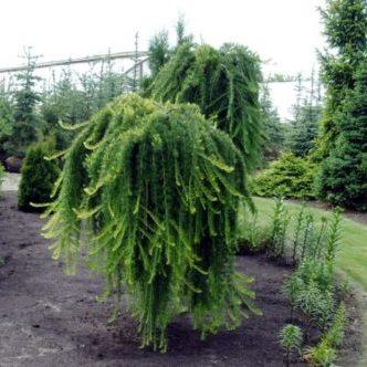 Vrtnarstvo Breskvar - Larix kaempferi Stiff Weeper