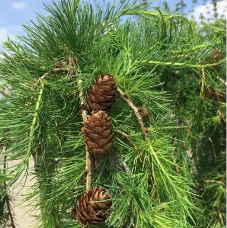 Larix kaempferi 'Stiff Weeper' - Vrtnarstvo Breskvar