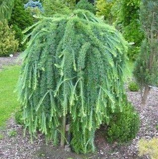 Japonski macesen Stiff Weeper- Vrtnarstvo Breskvar