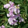 Vrtnarstvo Breskvar - Lathyrus latifolius Rosa Perle