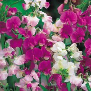 Vrtnarstvo Breskvar - Lathyrus odoratus