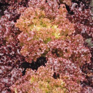Vrtnarstvo Breskvar - Lactuca sativa Bacchus