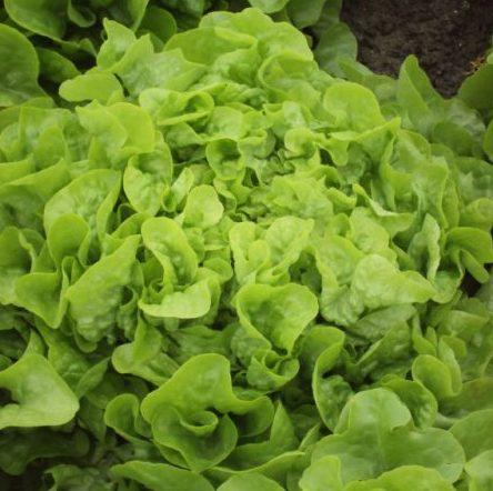 Vrtnarstvo Breskvar - Lactuca sativa Quelio