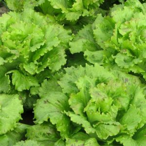 Vrtnarstvo Breskvar - Lactuca sativa Vegorka