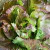 Vrtnarstvo Breskvar - Lactuca sativa Canasta