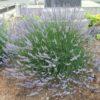 Vrtnarstvo Breskvar - Lavandula intermedia Dutch