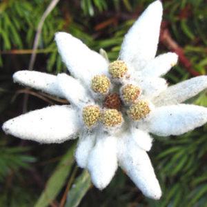 Vrtnarstvo Breskvar - Leontopodium alpinum