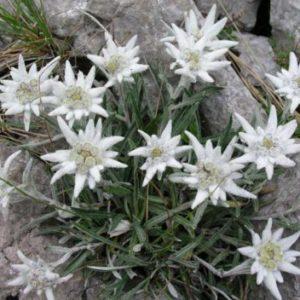 Vrtnarstvo Breskvar - Leontopodium souliei