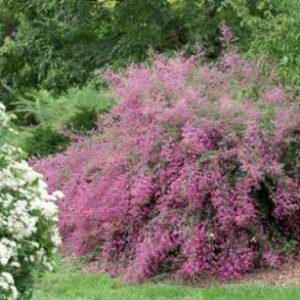 Vrtnarstvo Breskvar - Lespedeza thunbergii