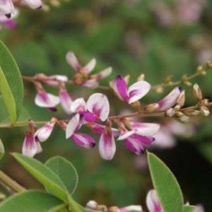 Vrtnarstvo Breskvar - Lespedeza thunbergii Edo Shibori