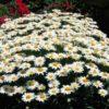Vrtnarstvo Breskvar - Leucanthemum superbum Silberprinzesschen