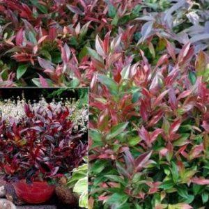 Vrtnarstvo Breskvar - Leucothoe Scarletta