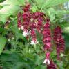 Vrtnarstvo Breskvar - Leycesteria formosa Purple Rain