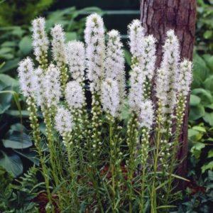 Vrtnarstvo Breskvar - Liatris spicata Floristan Weiss