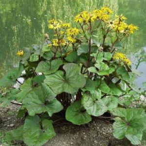 Vrtnarstvo Breskvar - Ligularia dentata