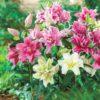Vrtnarstvo Breskvar - Lilium