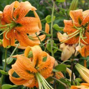 Vrtnarstvo Breskvar - Lilium henryi