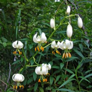 Vrtnarstvo Breskvar - Lilium martagon Album